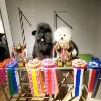 迷你贵宾赛迪!2019年大庆CKU犬赛获得幼犬全场总冠军PBIS1第一名两场,PBIS3第3名一场 ...