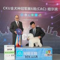 """哈尔滨2019年9月CKU犬赛,比熊""""威森""""获得全场总冠军BIS1,BIS3,"""