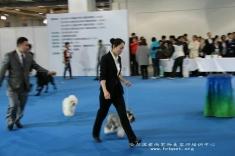 恭喜微微同学通过2015上海CKU C级牵犬师资格认证考试!