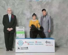 9个月丫头迷你贵宾茱迪!在2015年本溪CKU犬展完成登陆冠军!组别冠军BIG4获得犬种...