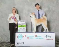 日本秋田犬女孩甜甜甜在CKU2015年长春犬赛获得犬种冠军BOB,组别冠军BIG,并获得登录...
