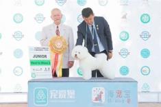 2018年CKU长春犬展,比熊雅谷获得两场,青年全场总冠军JBIS!