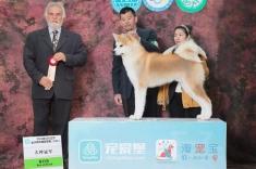 日本秋田博格犬在2016年CKU沈阳比赛犬种冠军BOB!