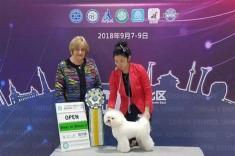 14个月比熊小公主戛纳,在哈尔滨第二天的比赛再获成犬组全场总冠军BIS3,青年组全场...