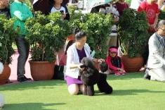朱迪迷你贵宾犬在CKU2015年沈阳犬赛获得   犬种冠军BOB,  组别冠军BIG,!