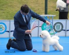 比熊威森首场CKU2019年3月深圳全犬种冠军展获得青年全场总冠军JBIS