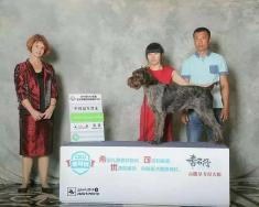 刚毛波音达犬在CKU2015年长春犬赛获得   犬种冠军BOB,  组别冠军BIG,  并获得登录...