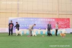 杨威老师,担任2018 CKU成都全犬种审查工作!