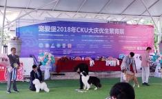 """比熊""""雅谷""""在2018CKU哈尔滨犬赛获得6场BOB,2场BIG1,4场BIG2,成犬BIS3,BIS4,2场青..."""