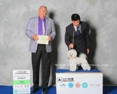比熊女孩俏俏在2013年CKU武汉全犬种犬展获得相对异性奖BOS!