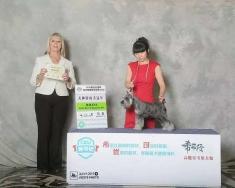 雪纳瑞木易CKU2015年长春犬赛获得   犬种冠军BOB,BOS!
