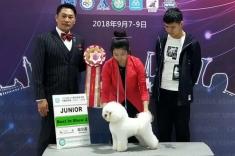 2018CKU哈尔滨犬赛第一天比熊小姑娘戛纳拿到青年全场冠军!JBIS2和JBIS4!