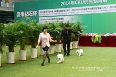 比熊男孩火火火和比熊女孩成成成在2014年cku本溪犬展获得BOB,BOS!