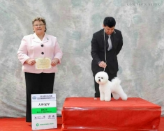 比熊俏俏女孩在2014年CKU山东全犬种犬展获得登录冠军!,BOS!