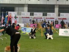 恭喜张静通过CKU2016年本部展牵犬师C级资格认定考试!