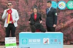 可卡犬美资犬在2016年CKU沈阳比赛犬种冠军BOB,组别冠军BIG!
