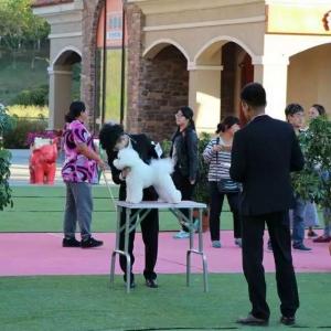 恭喜刘楠同学,通过CKU C级牵犬师资格认定考试!