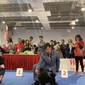 2019世界杯犬赛第二天,迷你贵宾赛迪再获两场PBOB,一场PGIB2