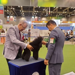 韩国2019亚洲杯正赛,迷你贵宾赛迪获得亚洲杯正赛犬种组别冠军PBIG3,犬种冠军5场PBOB!