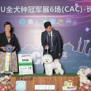 """比熊""""威森""""14个月挑战成犬组,长春CKU2019年6月犬赛获得,全场总冠军BIS3,!"""